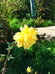 First Rose of Winter... now in full bloom in my garden. Yellow Rose named after my Mom... Sheila's Rose
