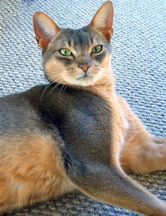 Abyssinian Cat Price South Africa