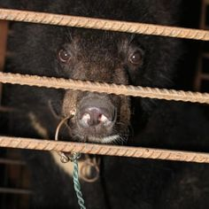 CHINA'S SHAME! VILE SUB-HUMAN SAVAGES!!!!!!! Bear Cubs, Lions Hit, Chained and Deprived in the Chinese Circus Industry -   A PETA Asia investigator visited 10 different circuses and animal training facilities in the city of Suzhou, which alone encompasses more than 300 circuses, and documented HORRIFYING ANIMAL ABUSE and SUFFERING ON A MASSIVE SCALE!