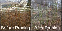 Before and After Pruning Blackberries