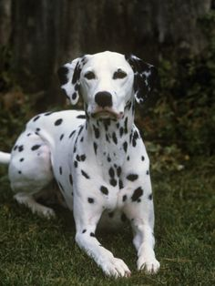 Dalmation - Click image to find more Animals Pinterest pins
