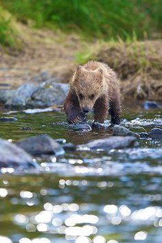 Brown Bear / The Challenge by Buck Shreck Black Bear, Brown Bear, Baby Cubs, Power Animal, Bear Pictures, Lovely Creatures, Love Bear, Little Critter, Cute Bears