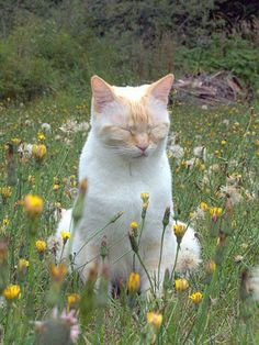 Cottage core Cat in Flower Field Aesthetic Photography - Katzenrassen Beautiful Cats Cute Creatures, Beautiful Creatures, I Love Cats, Cool Cats, Baby Animals, Cute Animals, Inka, Cat Aesthetic, Mellow Yellow