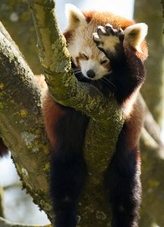 Look at those hairy feet! The built-in 'snow shoes' mean that red panda feet stay warm in the snow.