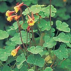 Capucine vivace - Tropaeolum tuberosum