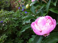 "The peonies bloom earlier now, but they always make me think of the Memorial Days from my childhood. Photo links to my blog post, ""Memorial Day, and the Persistence of Memory."""