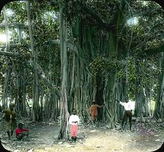7 best the banyan tree images on pinterest caribbean adventure brown dawson banyan trees jamaica fandeluxe Choice Image