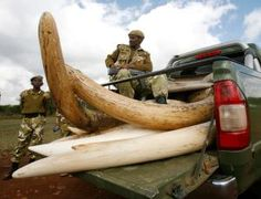 Elephant ivory could be bankrolling terrorist groups: Hillary Clinton unveiled an $80 million plan last week to combat elephant poaching in Africa, highlighting a worrying trend: money from wildlife crime may be funding terrorist groups, including the al-Shabaab group that attacked the mall in Kenya. The initiative, backed by 5 conservation groups and several African governments, involves scaling up anti-poaching activities, targeting supply lines and traffickers, and reducing demand for…
