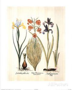 Lilium (Flowers) Art Print Poster Posters at AllPosters.com .99