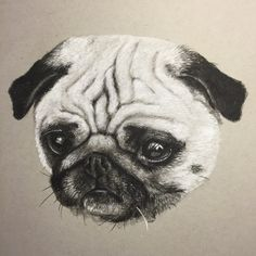 A charcoal and chalk portrait of a Pug dog by Andrew Prescott