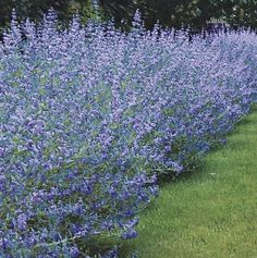 Caryopteris 'Longwood Blue', has a light blue bloom color and silver colored foliage that makes this shrub still a spectacle out of bloom. Perfect for hedges,
