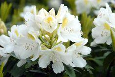Rhododendron catawbiense Alba WHITE CATAWBA RHODODENDRON Seeds! | eBay