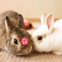 * @rmrm_rmrm222 ラムちゃんに、0.5点勝ったでしゅ✨(笑) .  #bunny #rabbit #kiwi #bigeyes #animal #coala #pets #bunnystagram #rabbitstagram #instapets #instarabbit  #動物 #うさぎ #キウイ #コアラ  #もぐら #ラッコ  #ネザーランドドワーフ#netherlanddwarf #ブロークンオレンジ #EOSM2
