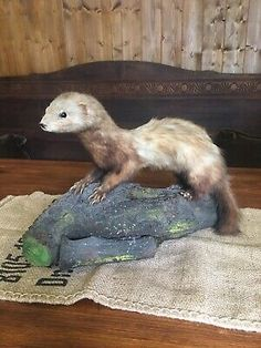 Iltis (germany) Vintage Polecat Ferret Taxidermy Mink  | eBay Fish Mounts, Hanging Bat, Glass Dome Display, Pets For Sale, Owl Bird, Vintage Fishing, Antique Shops, Taxidermy, Ferret