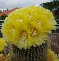 Cactus Flower, Cactus Plants, Green Houses, Succulents, Corner, Flowers, Collection, Beautiful, Ideas
