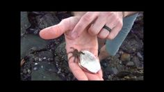 video of baby octopus crawling over hands