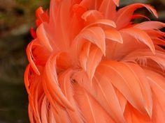 Flamingo Feathers Phoenicopterus  #animal #flamingo #feathers #phoenicopterus #photography
