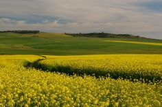 Canola - Swartland South Africa, Golf Courses, Country Roads, African, Magazine, Warehouse, Newspaper