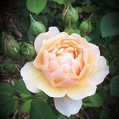 "Rosier ""Grace"" Austin. Outdoor Gardens, Gardening, Plants, Ideas, Rose Trees, Flowers, Gardens, Lawn And Garden, Plant"