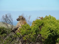 Baboon near the Cape of Good Hope - Cape Town - South Africa