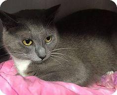 Voorhees, NJ - Domestic Shorthair. Meet Dorothy - PetSmart, a cat for adoption. http://www.adoptapet.com/pet/15067314-voorhees-new-jersey-cat