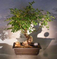 dwarf chinese elm Yatsubutsa