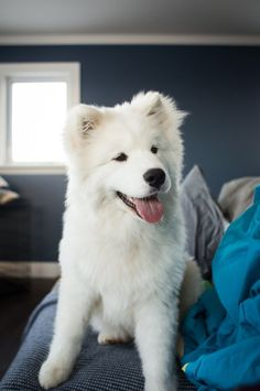 Dog Breeds Is your pup among the smartest dogs in the world? - The smartest dog breeds in the world have been ranked by a psychologist who consulted 199 dog obedience judges. Is your pup among the brainiest in the world? Animals And Pets, Baby Animals, Funny Animals, Cute Animals, Samoyed Dogs, Pet Dogs, Doggies, Cute Dogs And Puppies, I Love Dogs