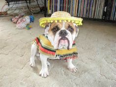 Image detail for -french bulldog dress up in costume instagram trotter (3)