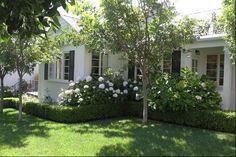 white hydrangeas with boxwood border white house w/black shutters - BEST