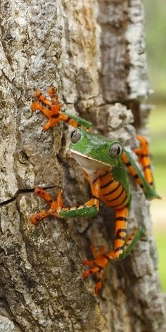 Tree Frog of many colors