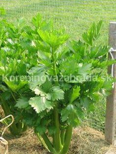 Zeler listový, Koreninová a liečivá záhrada