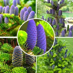 """Korean fir tree seeds - """" Abies koreana """" Blue cones . 30 seeds    R031 #Affiliate"""
