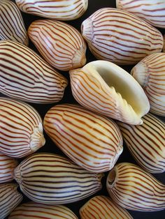 Zebra volute shells from someone's Flikr. Posted exclusively for being pretty.