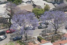 Purple Trees. May 20, 2013. (Photo Credit: C. Miller)