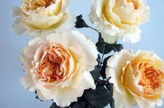 Beatrice David Austin Cut Rose from the Tambuzi Farm in Kenya. Easy order garden roses online @ www.parfumflowercompany.com