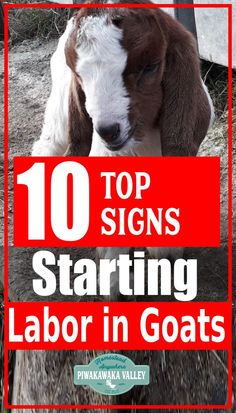 If you keep goats on your homestead, you will probably want them to have babies as some stage! Goats due dates can be hard to guess, so how do you know when a goat is ready to give birth? There are some common pregnant goat labor signs that you can keep an eye out for. Backyard Farming, Chickens Backyard, How To Start Small Garden, Crop Production And Management, How To Know, Did You Know, Signs Of Labour, Keeping Goats, Active Labor