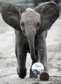 Elephant playing soccer #Animals #Sports #Soccer