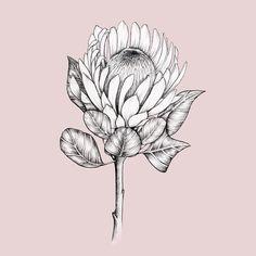 Protea on pink. Protea Art, Protea Flower, Botanical Line Drawing, Botanical Art, Flower Outline, Flower Art, Plant Illustration, Botanical Illustration, Lino Art