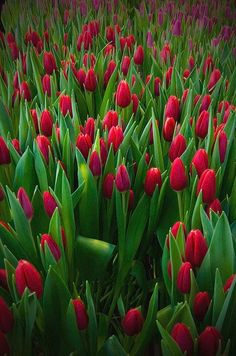 Tulip field                                                                                                                                                                                 More