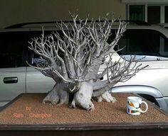 'White Zombie' adenium arabicum by Ram Chiangmai. Probably a PBN. A very impressive tree.