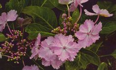 Hydrangea macrophylla Mikanba-Gaku from Wilkerson Mills need to add to my wish list