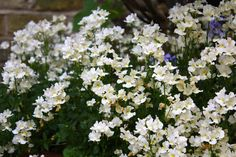 Nemesia | The Frustrated Gardener