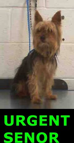 MAX (A1705076) I am a male black and gold Yorkshire Terrier. The shelter staff think I am about 7 years old. I was found as a stray and I may be available for adoption on 06/18/2015. Miami Dade https://www.facebook.com/urgentdogsofmiami/photos/pb.191859757515102.-2207520000.1434288401./992712197429850/?type=3&theater