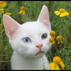神秘的な輝き、左右の瞳の色が違う「オッドアイ」