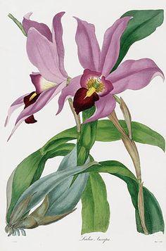 Joseph Paxton Magazine Botany Orchid Prints 1834 Illustration Botanique, Plant Illustration, Watercolor Illustration, Orchid Drawing, Plant Drawing, Vintage Botanical Prints, Botanical Drawings, Botanical Flowers, Botanical Art