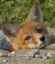 Cute fox cub!