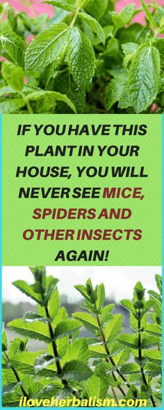 IF YOU HAVE THIS PLANT IN YOUR HOUSE, YOU WILL NEVER SEE MICE, SPIDERS AND OTHER INSECTS AGAIN!