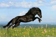 black horse leaping