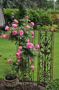 'Leonardo da Vinci ' Rose Photo