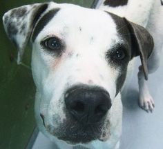 *DALI-ID#A671992    Shelter staff named me DALI.    I am a female, white and black Boxer and Pit Bull Terrier.    The shelter staff think I am about 9 months old.    I have been at the shelter since Sep 13, 2012.
